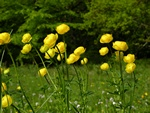 Engblomme (Trollius europaeus)
